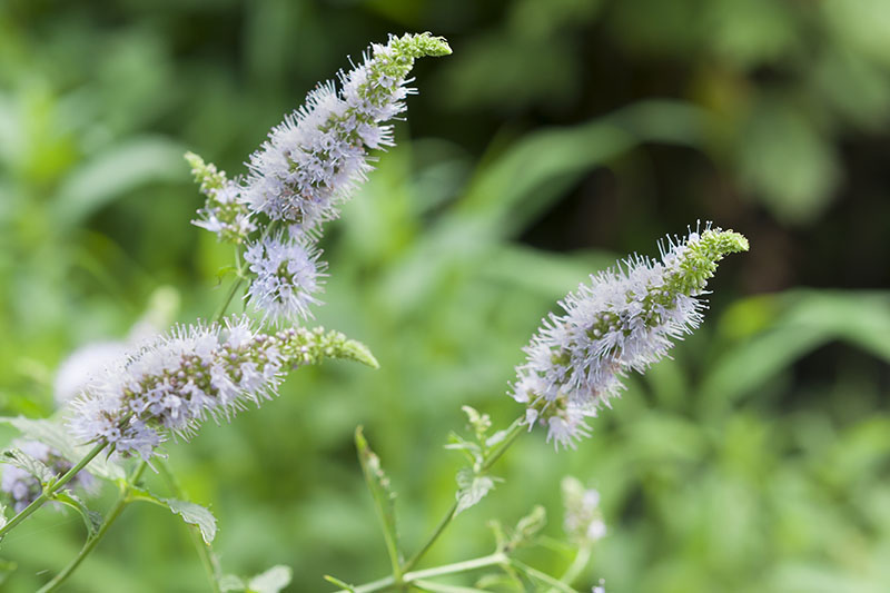 A close up of the light purple flower stalks of Mentha spicata growing in the garden, pictured on a soft focus background.