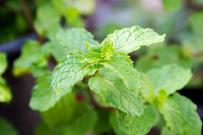 A close up of the bright green, serrated leaves of Mentha spicata, pictured on a soft focus background.