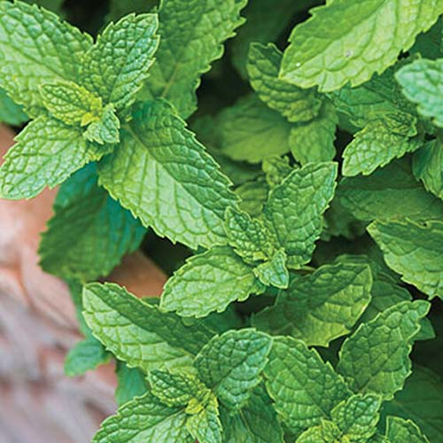A close up, top down picture of Mentha spicata growing in a wooden raised bed.