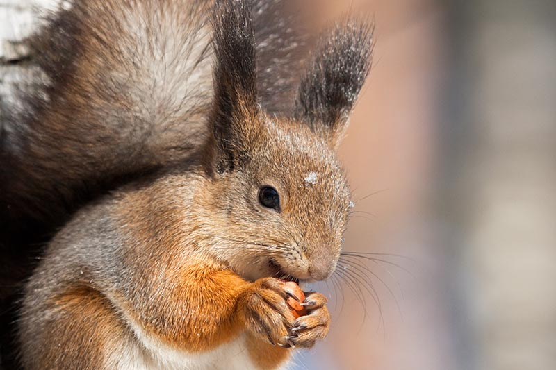 A close up horizontal image of a squirrel eating a nut, pictured in light sunshine on a soft focus background.