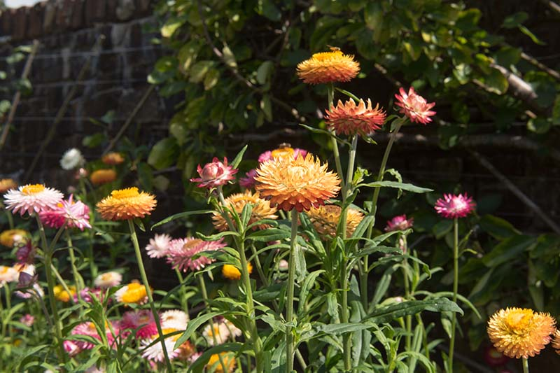 A close up of orange strawflowers growing in the garden in bright sunshine with a wall in soft focus in the background.