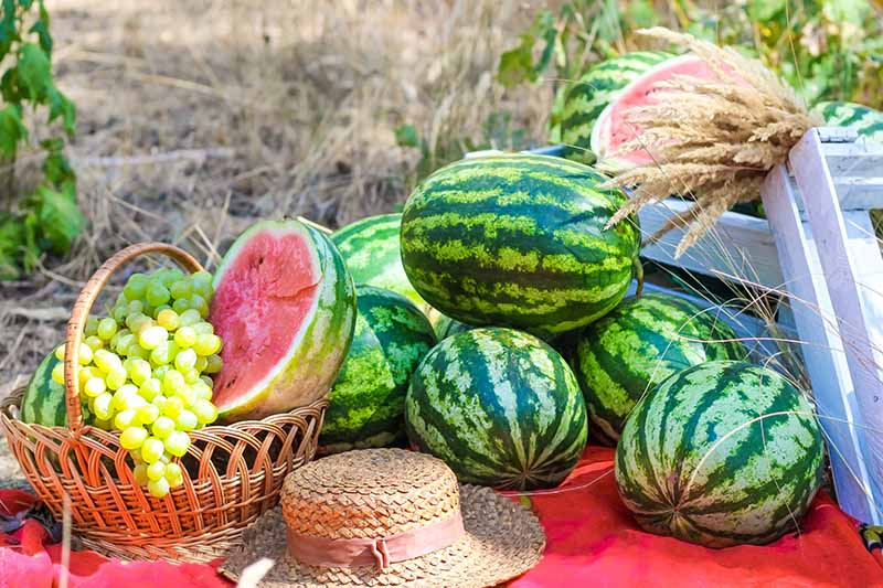 A close up of a summer picnic scene, with a basket full of grapes and a sliced watermelon, set on a red blanket on the ground, with a straw hat and rustic wooden boxes with bright green striped melons arranged in a pile.