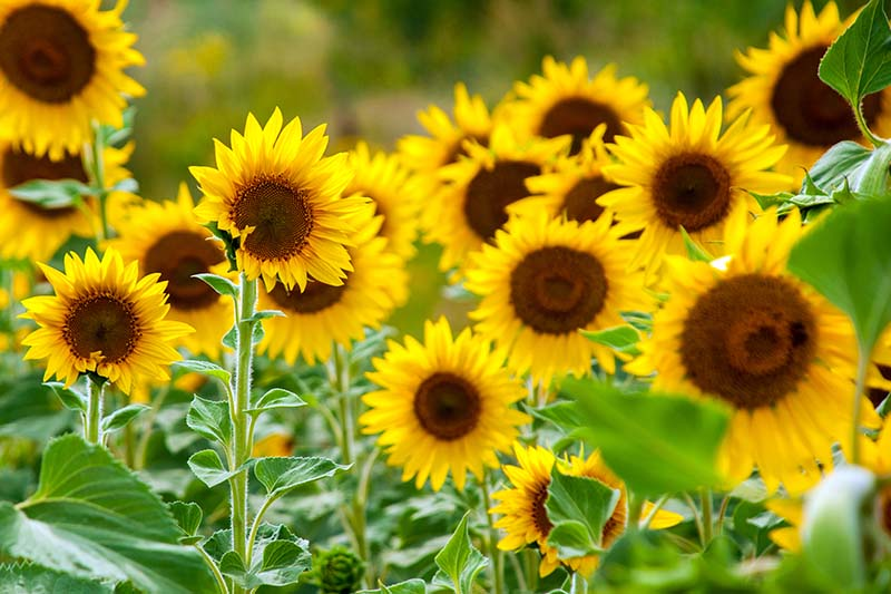 A close up of bright yellow sunflowers growing in the garden, with foliage in soft focus in the background.