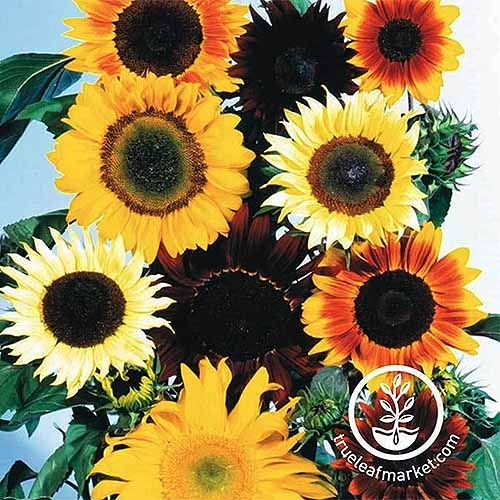 A close up of sunflowers in a variety of different colors with blue sky in the background. To the bottom right of the frame is a white circular logo with text.