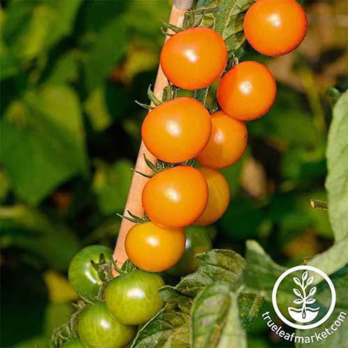 A close up of the red and green fruits of the 'Sungold' variety, growing in the garden, pictured in bright sunshine on a soft focus background. To the bottom right of the frame is a white circular logo with text.