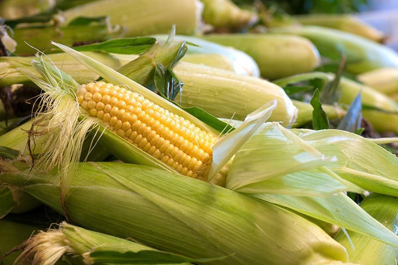 A close up of a pile of freshly harvested Zea mays with some of the husks pulled back to reveal the yellow kernels.