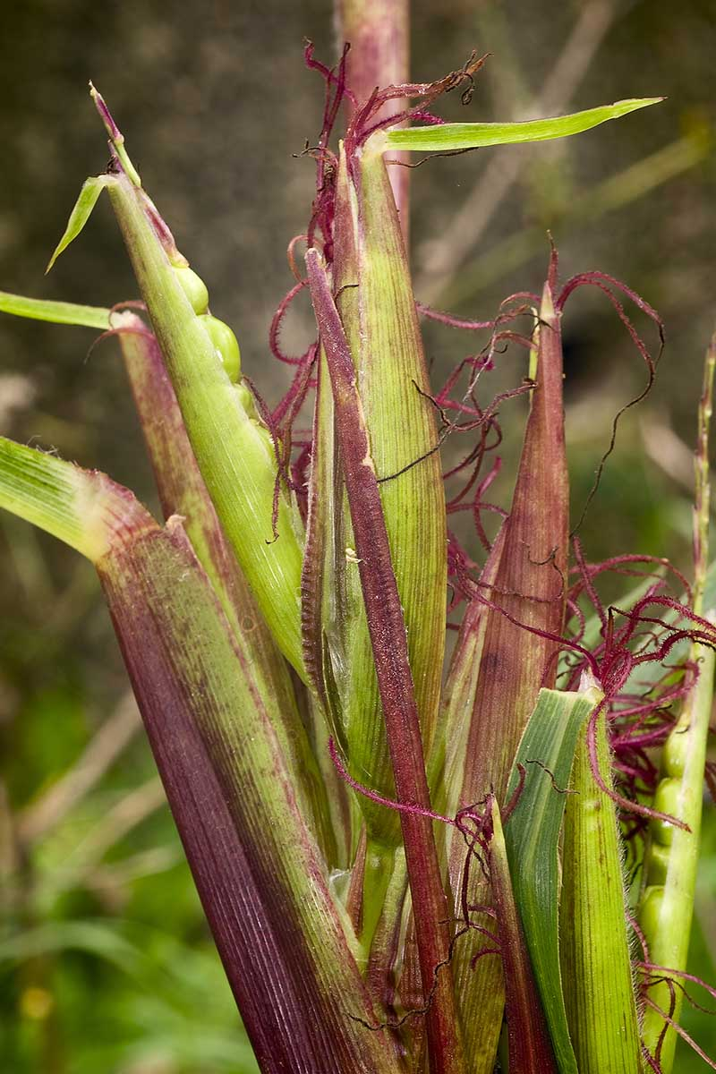 A vertical image of a Zea mexicana teosinte growing in South America, with light purple and green foliage on a soft focus background.