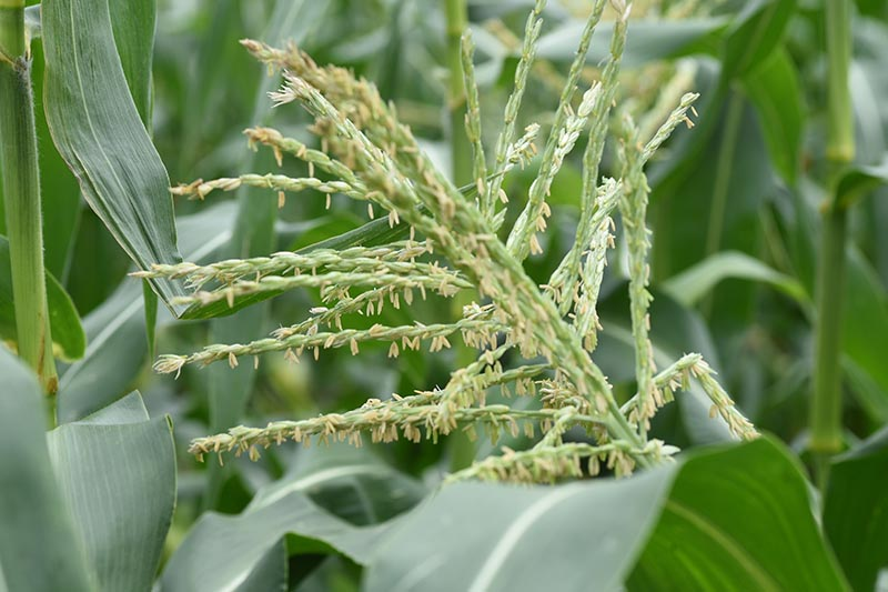A close up of Zea mays growing in the garden with bright green foliage, fading to soft focus in the background.