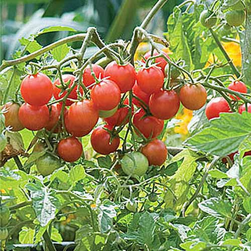 A close up of ripe, red tomatoes growing on the vine in the sunny garden, pictured on a soft focus background.