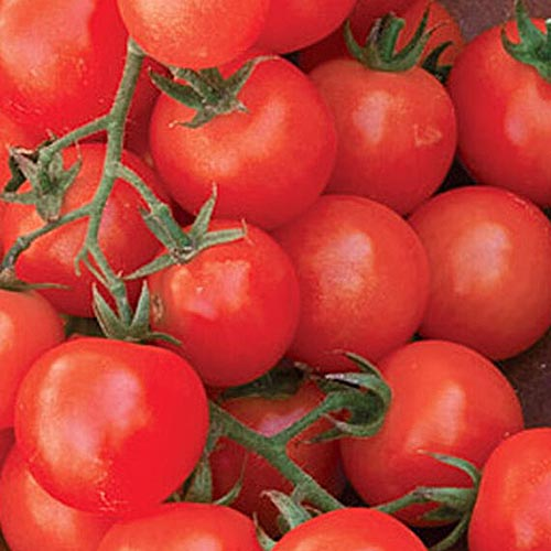 A close up of red, ripe, freshly harvested 'Sweetie' tomatoes.