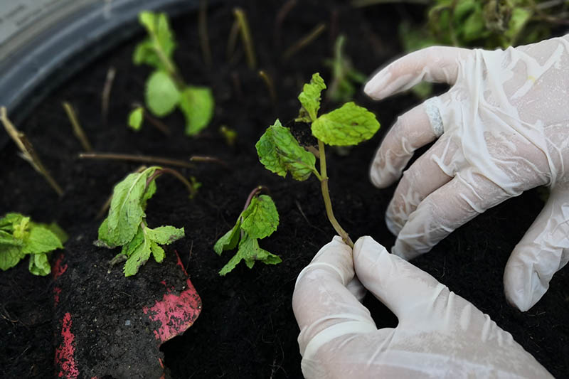 A close up of two gloved hands from the right of the frame planting stem cuttings into a pot with rich soil.