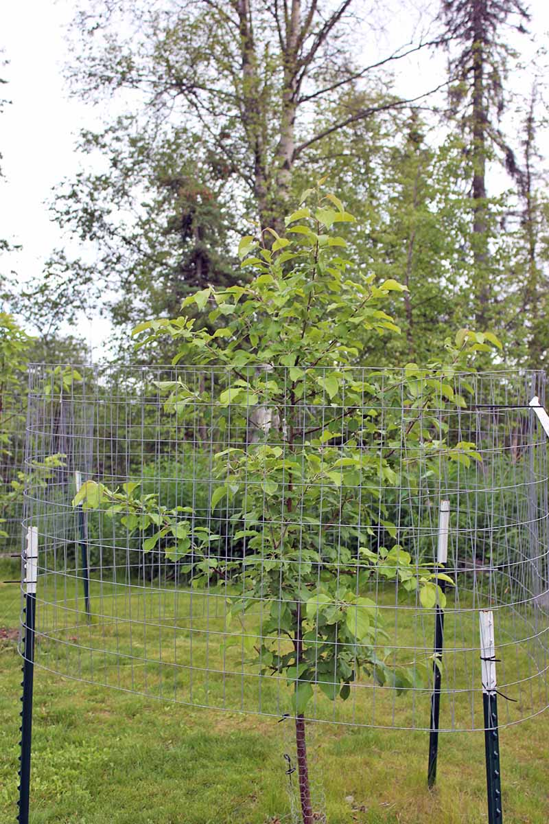 A vertical picture of a wire mesh fence constructed round an apple tree to prevent damage from moose.