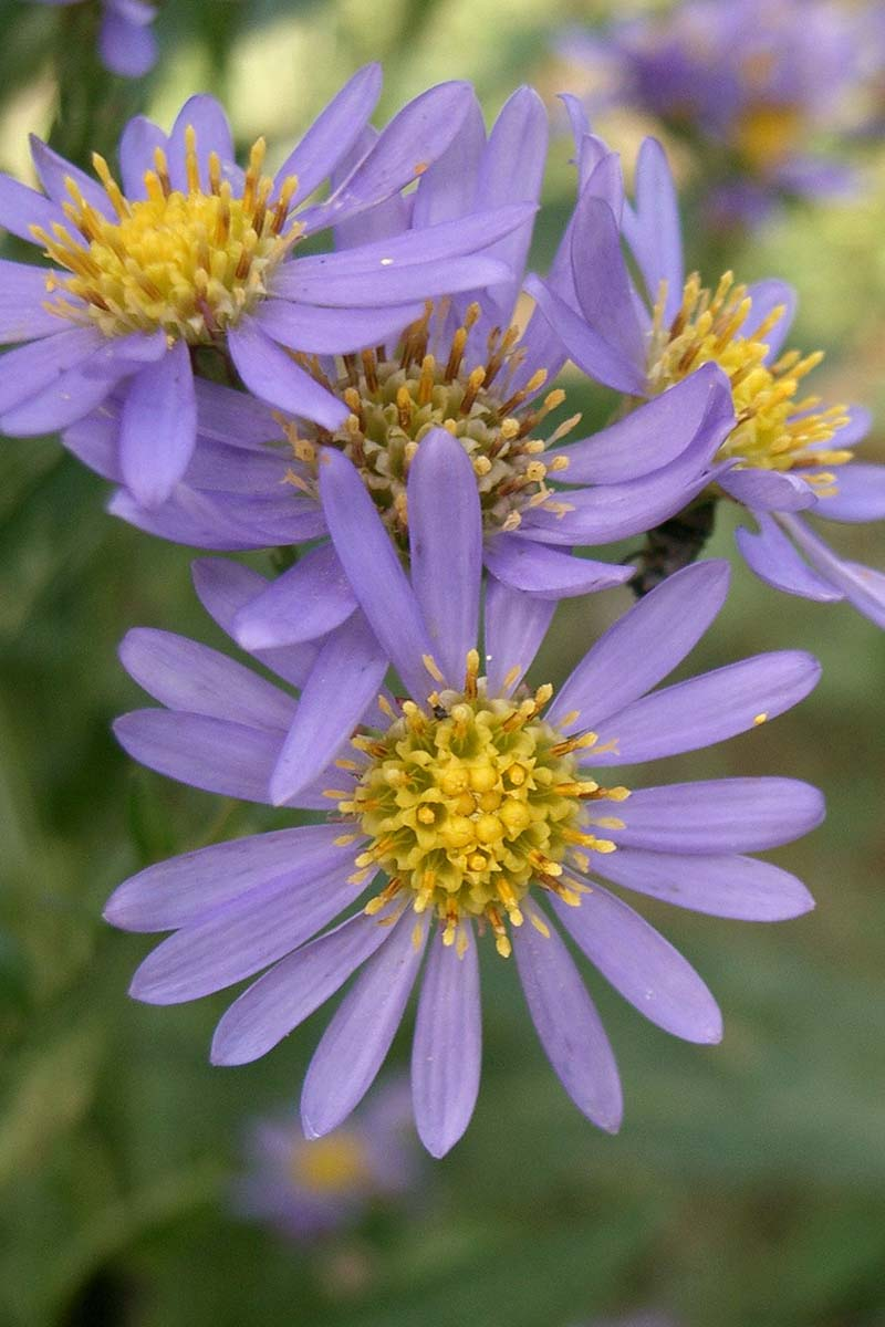 A vertical close up of light purple Aster tataricus blooms, with ray-like petals and yellow centers, pictured on a soft focus background.