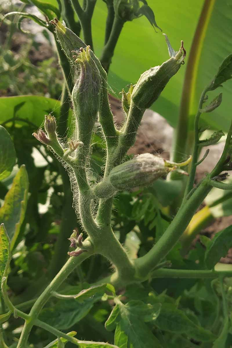 A close up of the distorted flower buds of a plant suffering from tomato big bud disease, caused by a phytoplasma and spread by leafhoppers.