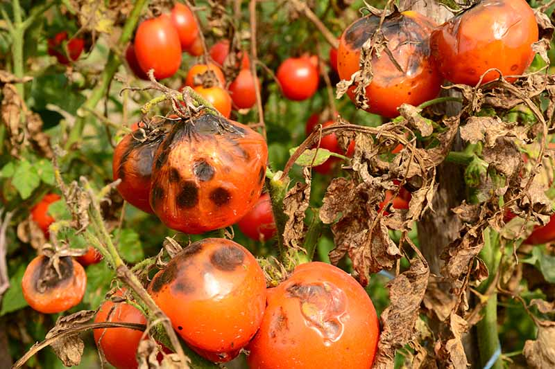 A close up of ripe red tomatoes that have gone black through a disease called late blight. To the right of the frame shows brown, dead leaves.
