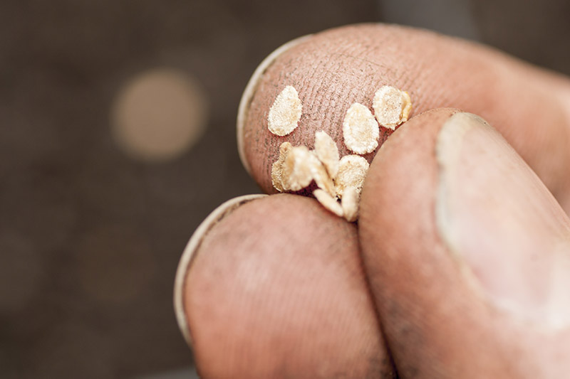 A close up of a hand holding some tiny seeds, pictured on a dark soft focus background.