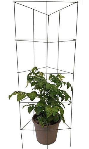A close up of a cage for growing vining vegetables pictured over a small plant in a black pot.