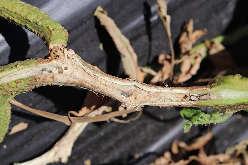 A close up of a stem suffering from sclerotinia timber rot, with black plastic in soft focus in the background.