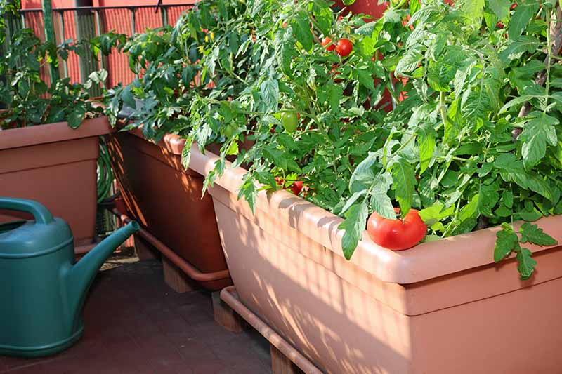 A close up of a large plastic pot with healthy tomato plants laden with ripe fruit, growing on the patio, pictured in bright sunshine.
