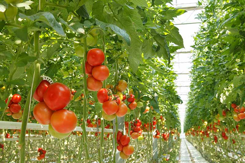 Rows of tomato plants growing in a large greenhouse with green and red fruits on the upright, staked vines.