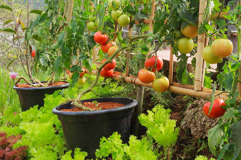 A vegetable garden with tomatoes growing in black plastic pots, trained up a trellis, surrounded by lettuce and other vegetables.