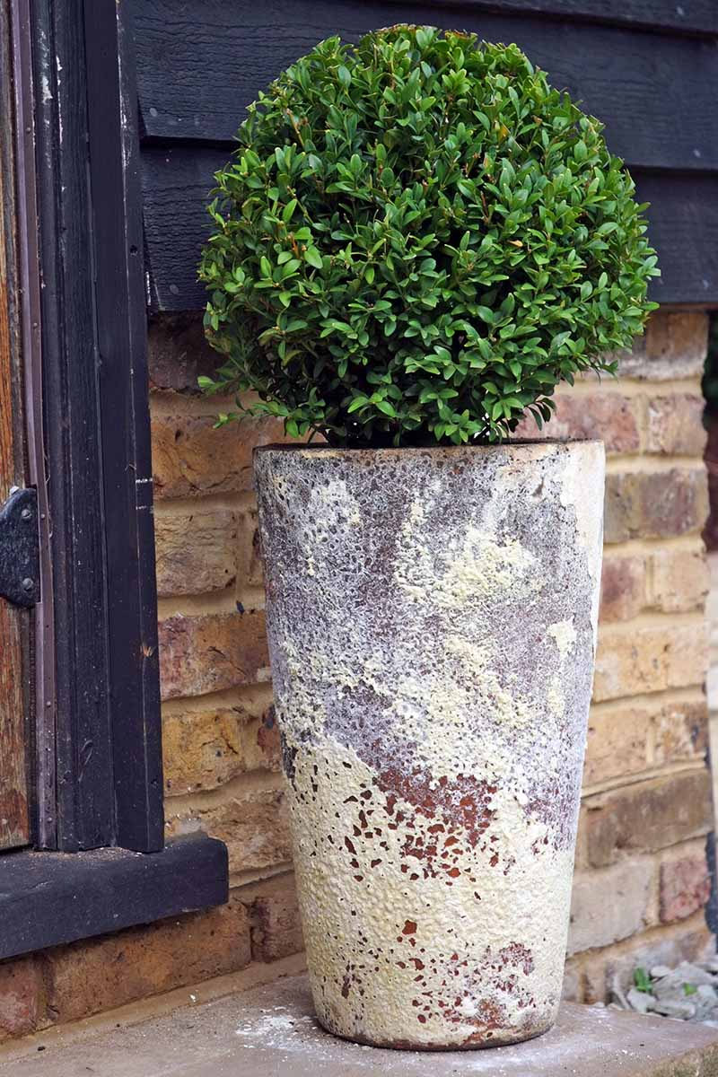 A vertical image of a small tree in a large terra cotta container, pruned into a rounded shape, placed outside a doorway with a brick wall in the background.