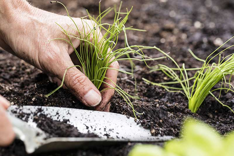 A hand from the left of the frame planting out a young Allium schoenoprasum seedling into the garden, with a spade in soft focus in the foreground.