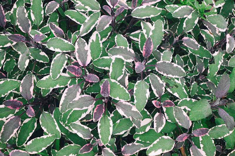 A close up of the tricolored leaves of Salvia officinalis 'Tricolor' with white, green, and purple foliage.
