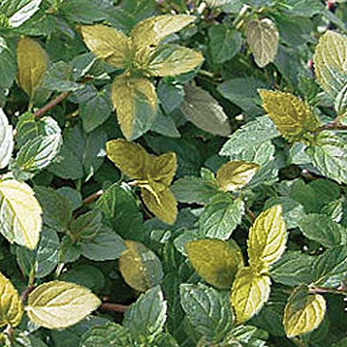 A close up of the variegated leaves of Mentha x piperita 'Variegata' pictured growing in the garden.