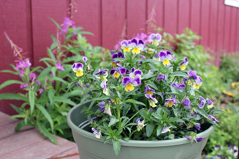 A close up of a small green plastic pot containing purple and yellow violas, with a red wooden fence in soft focus in the background.