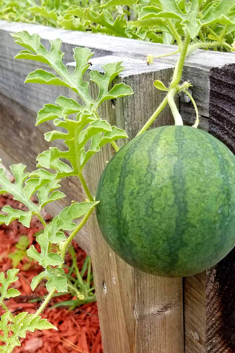 A close up vertical picture of a dark green, striped watermelon growing on a vine over a wooden fence, with foliage in soft focus in the background.