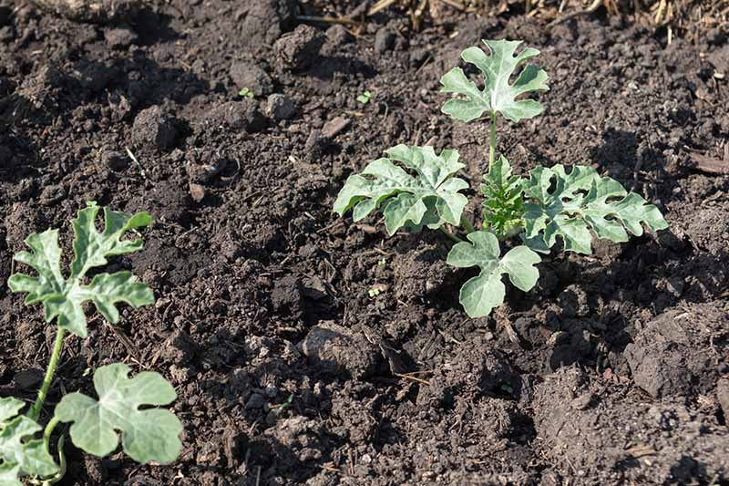 A close up horizontal picture of two seedlings growing in rich soil in the garden, pictured in bright sunshine.