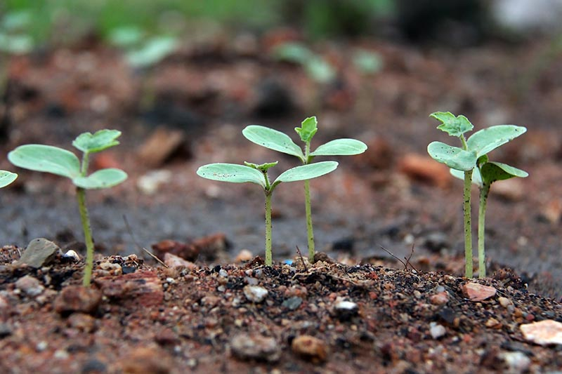 A close up horizontal image of tiny seedlings growing in the garden, pictured on a soft focus background.