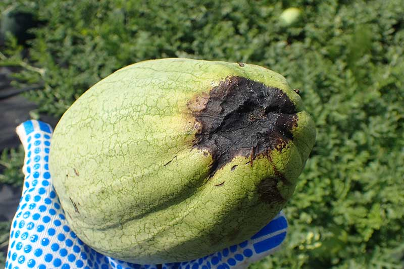 A close up of a gloved hand from the left of the frame holding a small watermelon suffering from a physiological disease known as blossom-end rot, pictured on a green soft focus background.