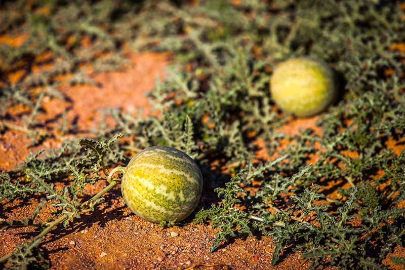 A close up of the rich red soil in a dry, arid climate covered with a trailing vine and two developing melons, with light green, mottled skin, pictured in filtered evening sunshine.
