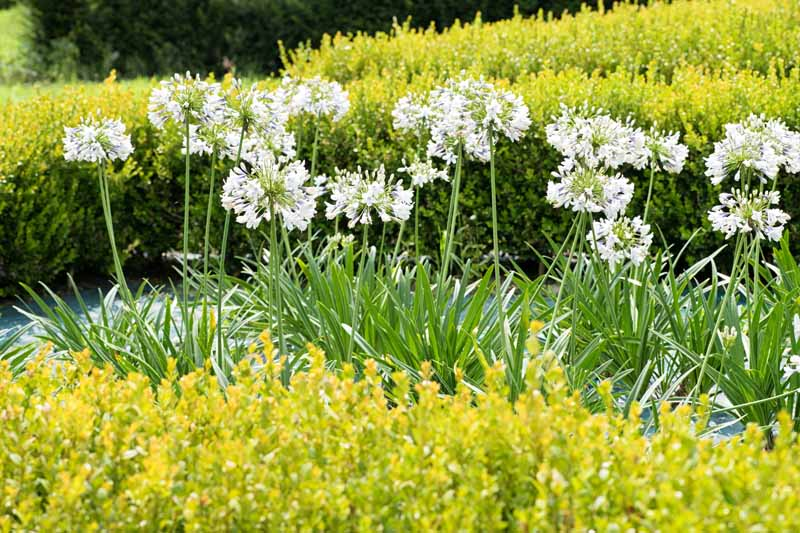 A garden scene with white agapanthus flowers growing along a pathway, with yellow flowering shrubs in front and in soft focus behind.