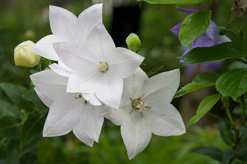 A close up of white balloon flowers growing in the garden, pictured on a soft focus background. To the right of the frame is green foliage and blue flowers.