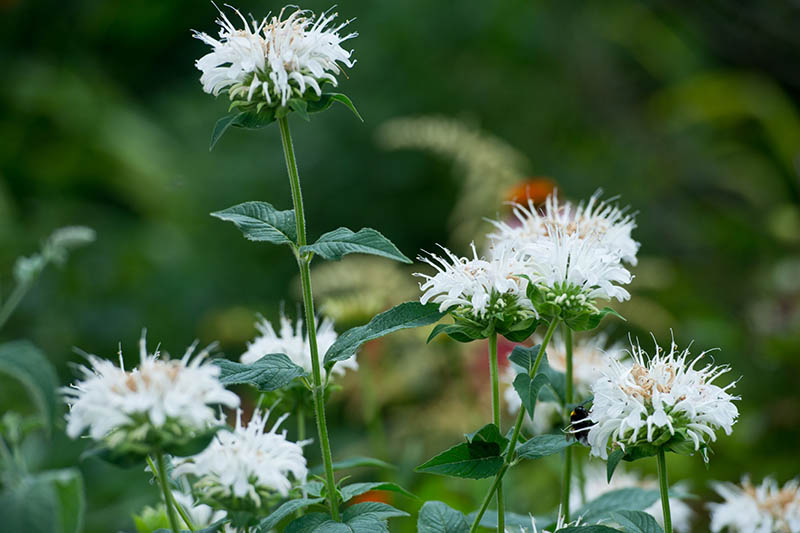 A close up of white bee balm flowers growing in the garden pictured on a soft focus background.