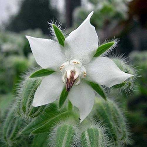 A close up of a white Borago officinalis flower growing in the garden.