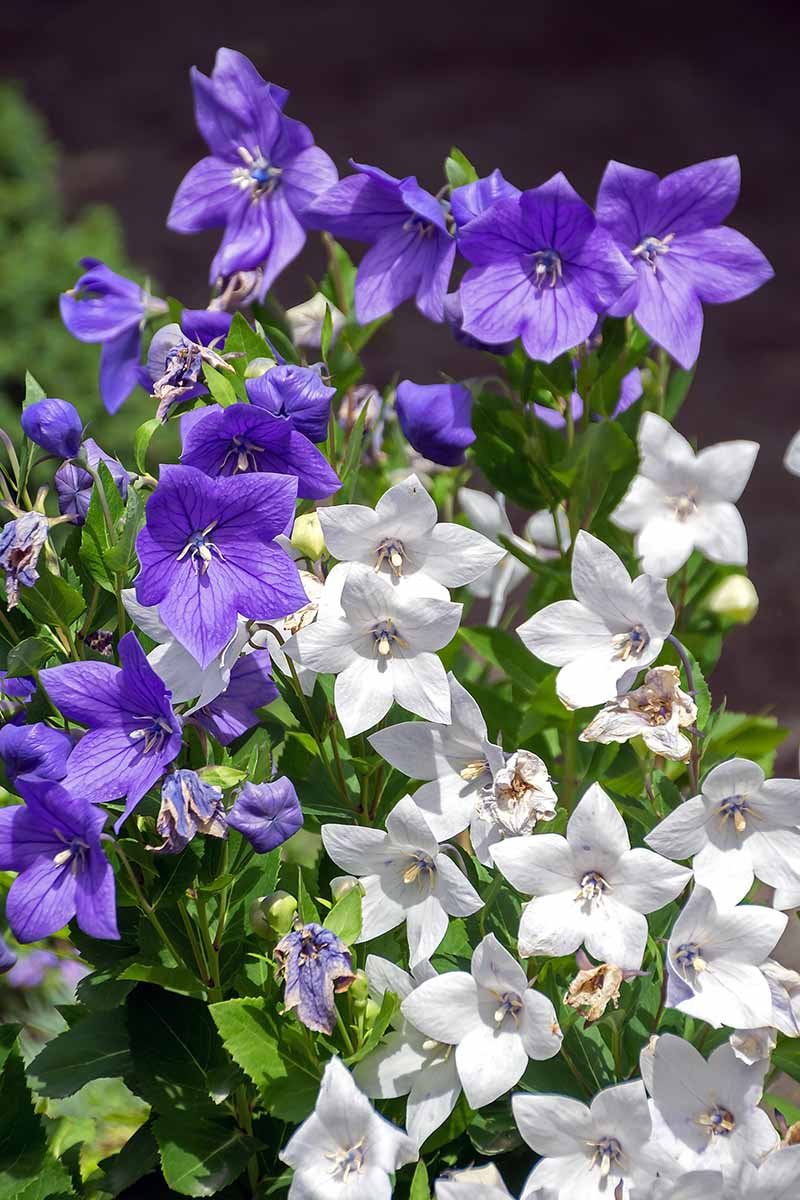 A vertical picture of blue and white Platycodon grandiflorus growing in the garden in bright sunshine pictured on a soft focus background.