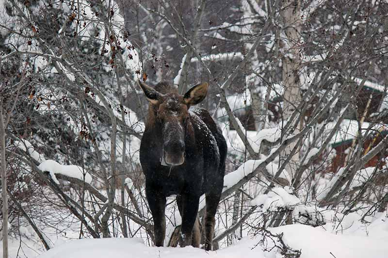 A close up of a large moose in a snowy Alaskan backyard, with trees in the background.