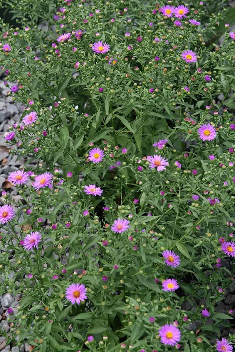 A close up vertical picture of Woods aster growing in the garden with tiny daisy-like flowers bushy foliage.