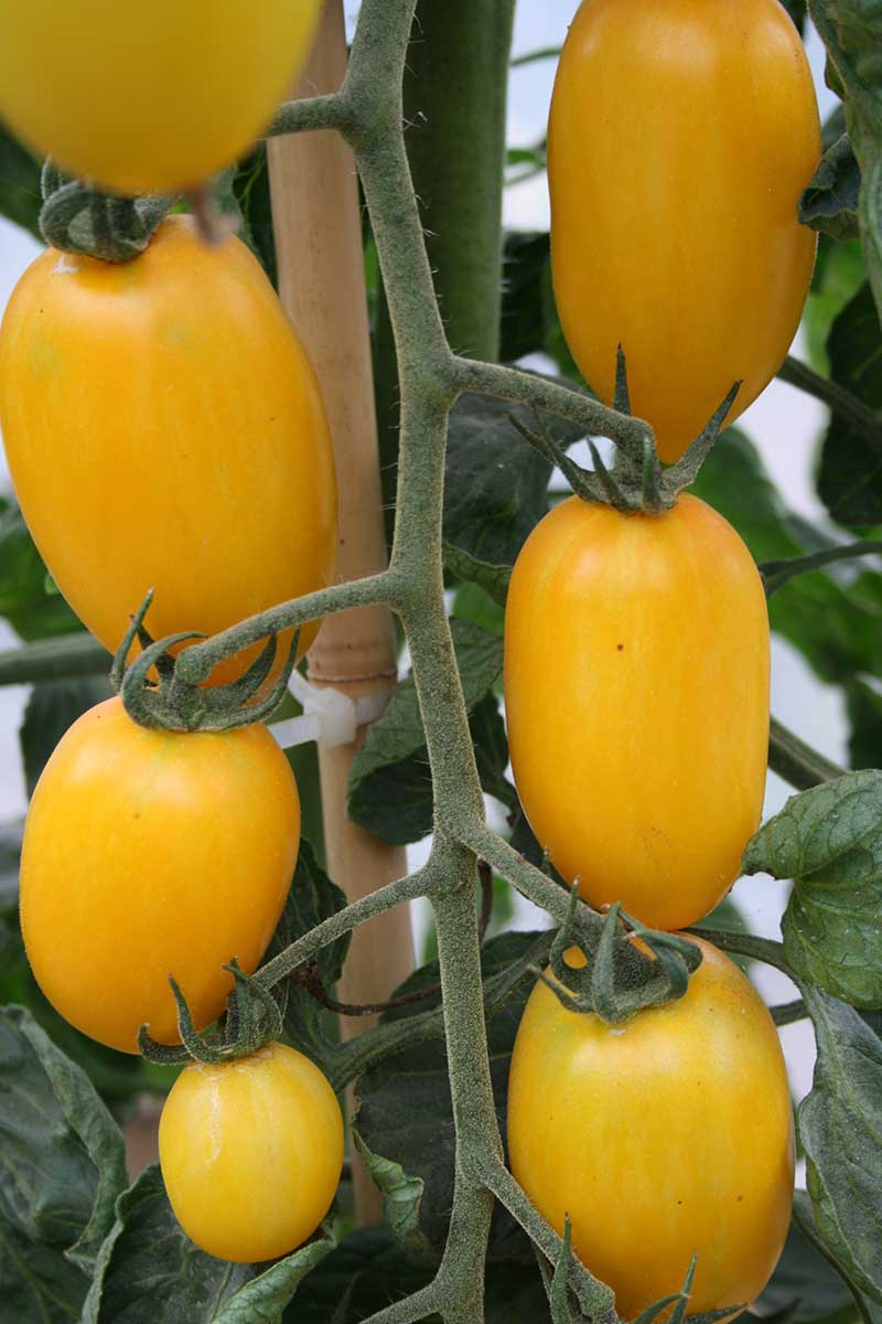 A vertical picture of ripe yellow tomatoes growing in the garden, attached to a bamboo stake, pictured on a soft focus background.