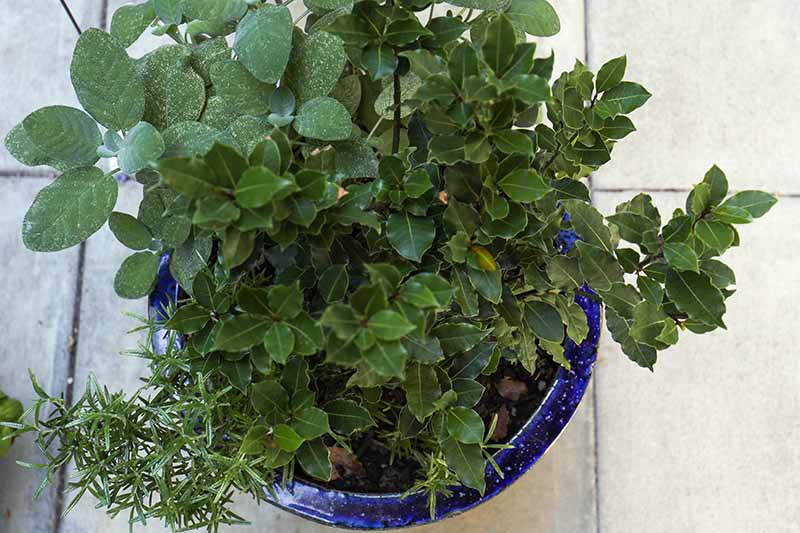 A close up, top down horizontal image of a blue ceramic container with a Laurus nobilis plant surrounded by herbs, set on a tiled surface.