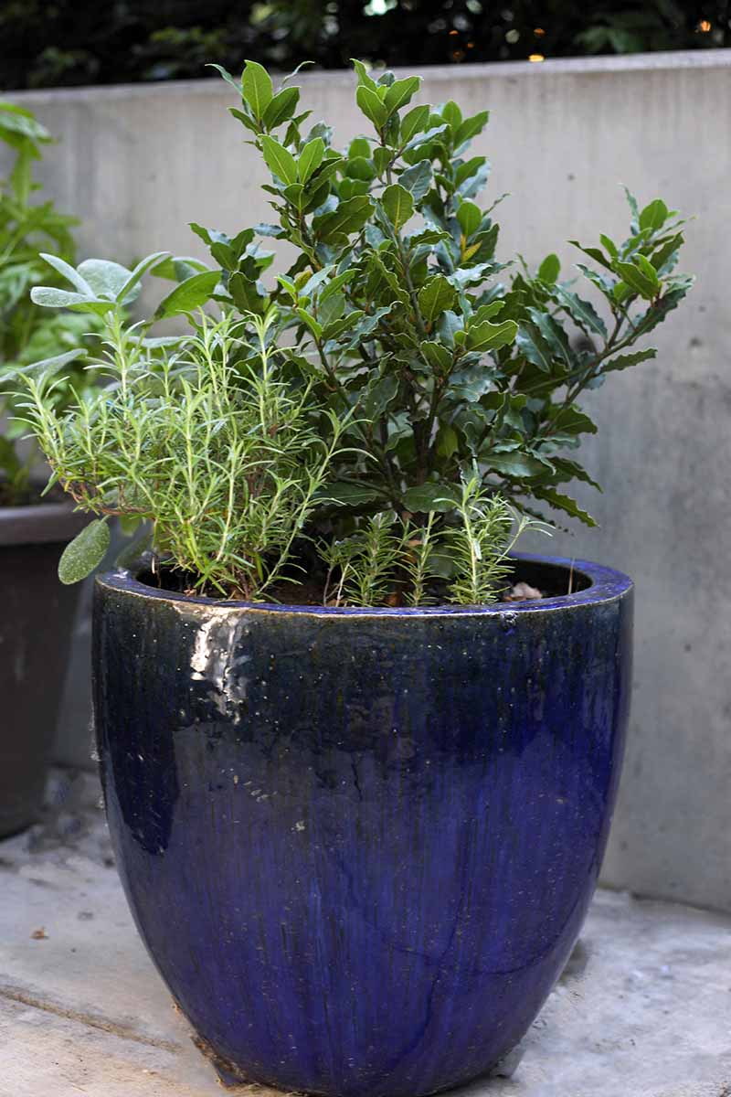 A vertical image of a large blue ceramic pot with a Laurus nobilis growing along with other herbs, set on a tiled surface with a concrete wall in the background.