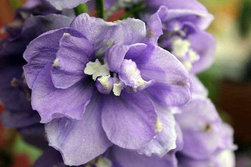 A close up of a light purple delphinium flower on a soft focus background.