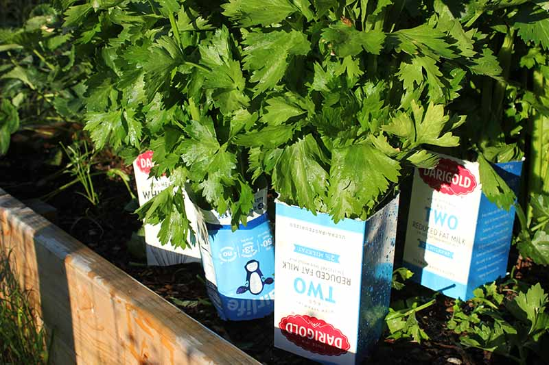 A close up of a wooden raised garden bed with celery stalks being blanched using milk cartons placed over the stems.