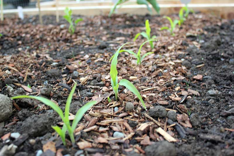 A close up of a raised garden bed with tiny Zea mays seedlings surrounded by bark mulch.
