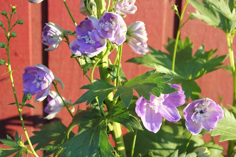 A close up of light purple delphinium flowers pictured in bright sunshine.