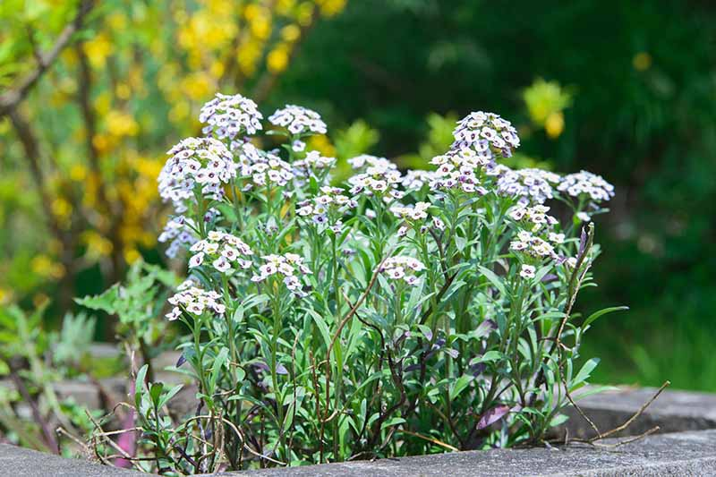 A close up horizontal image of small white flowers growing in a raised concrete garden bed, with trees in soft focus in the background.